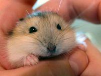 Need help sexing russian dwarf hamsters