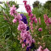Rocket Larkspur For Which Our Dog Is Named. - Democratic Underground
