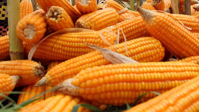 'GM seed choice shouldn't be dictated': Italian farmers question EU court ruling on Monsanto corn