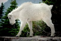 Mountain Goat kid Photo