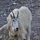 Pictures Of Mountain Goats In Kootenay National Park « Jasper