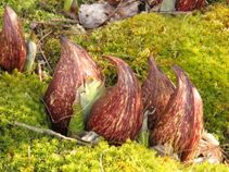 Skunk Cabbage and Signs of Spring in Upstate NY! | Katonah Green