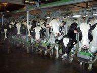 dairy cows being milked