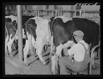 Cows being milked in dairy barn at Two River NonStock, Cooperative, a