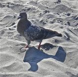 Feral Pigeon | Project Noah