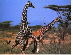 Photo 12 : girafe : un accouplement au sommet!!