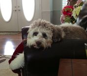 Sweet Lexie | Seaspray's Lexie, my Australian Labradoodle