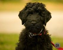 black russian terrier puppy | Cutie Pies