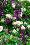 Pink Rosa, Clematis viticella 'Etoile Violette' and the pinkwhirls of