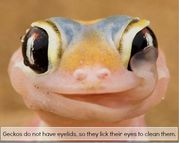geckos lick their eyes to clean them