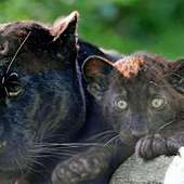 Black Panther With A Cub | Black Panthers