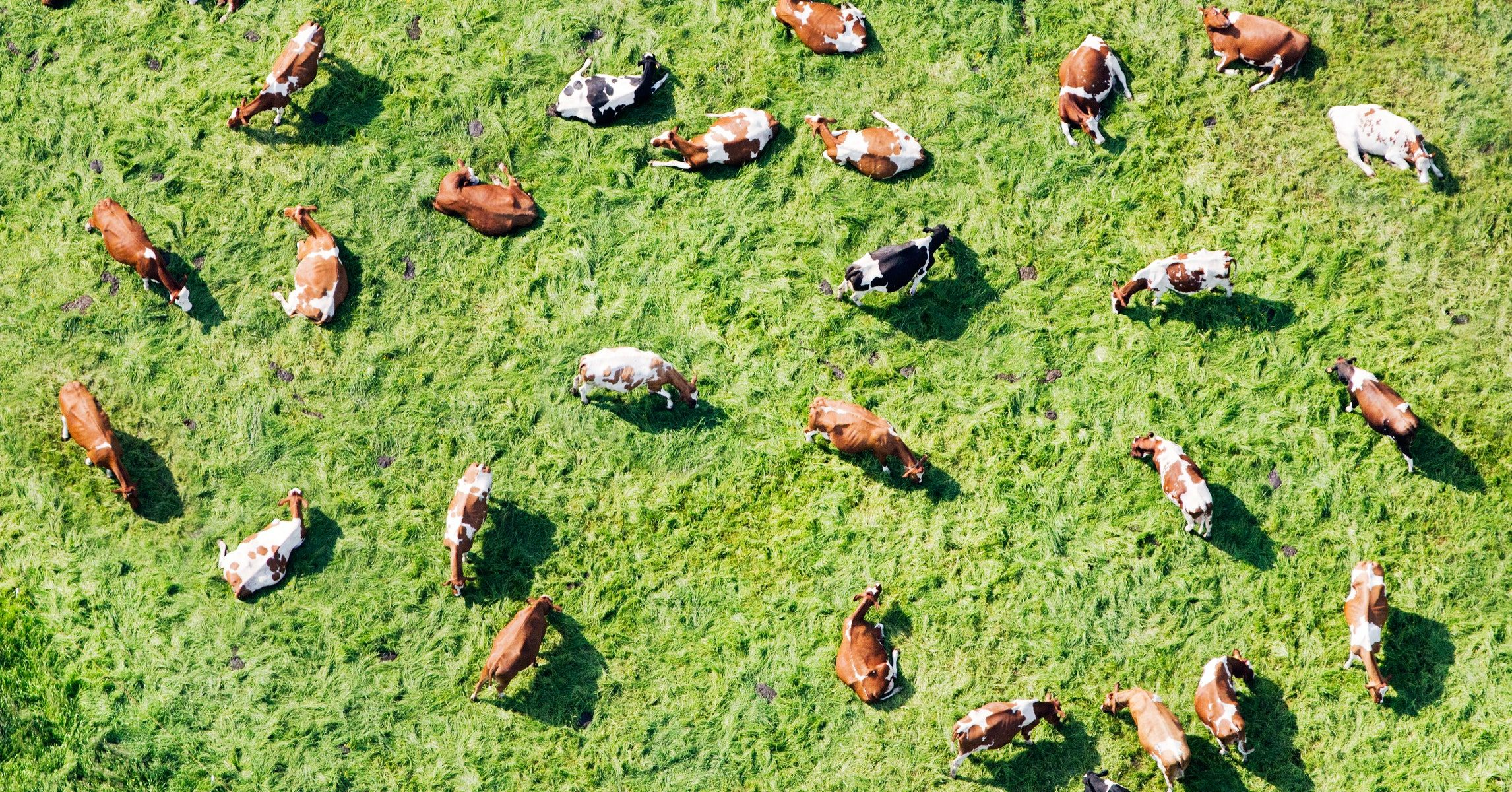 Mathematicians Decode the Surprising Complexity of Cow Herds