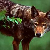 The Red Wolf Is Often Mistaken As A Coyote But Wolves Have A Cape Like