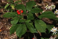 american ginseng panax quinquefolius is a perennial plant in the