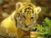 all funny zoo : young tiger