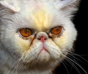 Persian Cat Inbreeding is on Prime Time News | Pictures of Cats