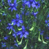 Larkspur, Annual - Blue Cloud | Friends School Plant Sale