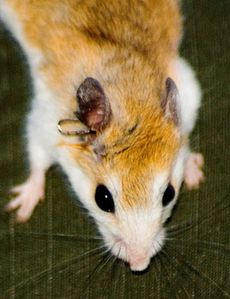 "Siberian mouse forum | info tech plus, ""siberian mouse"" : 311 files"