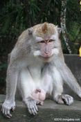 Male macaque with an erect penis