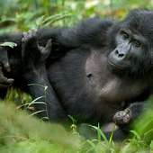 Mountain Gorilla Mother And Baby | Sean Crane Photography Blog