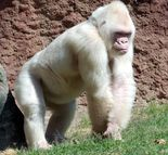 snowflake the gorilla