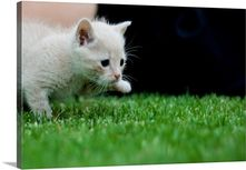 Caramel kitten stalking over green grass Photo Canvas Print | Great