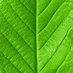 Green young spring leaf isolated, high resolution macro — Stock