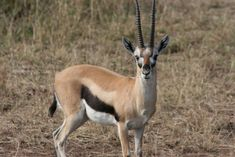 Serengeti 13 � Thompson�s Gazelle | Temporarily Lost