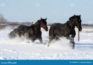 deux chevaux dans la neige blanche chevaux noirs la libert