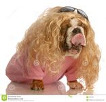 Funny dog dressed in drag  english bulldog dressed up as a beautiful