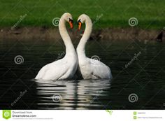 Two male swan dancing. Necks design a kind of heart.