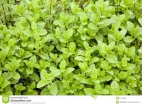Fresh young mint plants in a garden