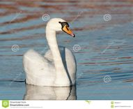 Swan Male Stock Image  Image: 18942371