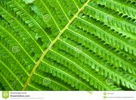 Young Fern Leaf Stock Images  Image: 14911254