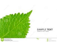 Young Leaf Stock Photo  Image: 14471750