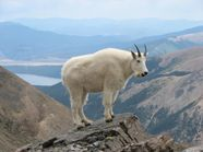 File:Mountain Goat Mount Massive.JPG  Wikipedia, the free