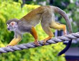File:Common squirrel monkey arp jpg  Wikipedia, the free encyclopedia