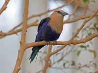 File:Bluebellied Roller RWD5  Wikimedia Commons