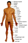 Description Naked human male body front anterior (annotatedid) png