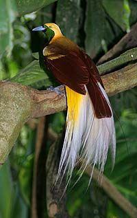 Paradisebird Foto