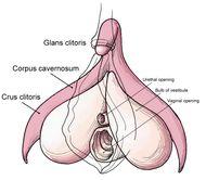 Beschrievung Clitoris anatomy labeleden jpg