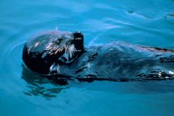 File:Oiled enhydra lutris sea otter animal jpg  Wikimedia Commons