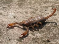 File:Scorpion 01.JPG  Wikimedia Commons