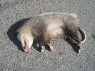 File:Roadkill Opossum 20120323 jpg  Wikimedia Commons
