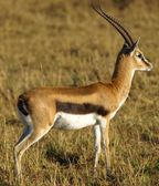File:Thomsonsgazelle jpg  Wikimedia Commons