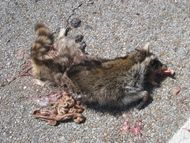 File:Roadkill Raccoon 20120323 jpg  Wikimedia Commons