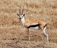 Soubor:Thompson gazelle jpg � Wikipedie