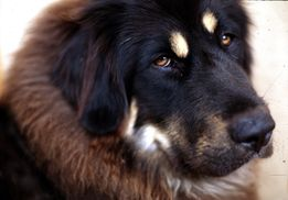 Description Tibetan Mastiff 001 jpg