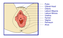 File:VaginalOpening png  Wikipedia