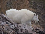 File:Mountain Goat on Mount Huron in Colorado image 1 jpg  Wikipedia